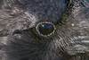 Raven. Crop of eye showing reflection of photographer.