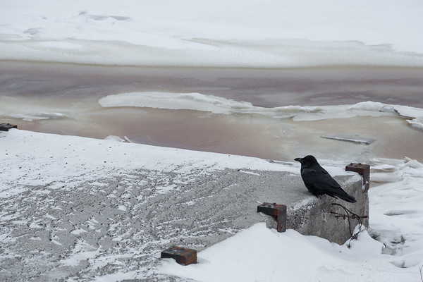 Raven sitting on public docks support structure along the almost frozen Moose River in Moosonee.