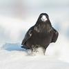 Raven, walking, snow on beak.