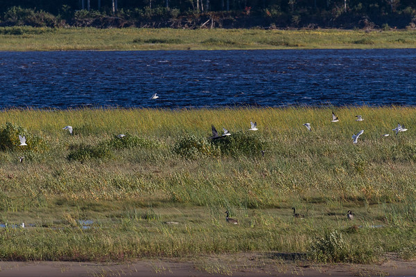 Sandbar. Geese in foreground, raven flying by in mid frame makes seagulls take off.