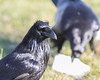 One raven feeds in the background (out of focus) while another raven waits for its turn to eat.
