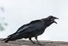 Juvenile raven screaming for food.