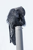 Raven on vent stack, preening.