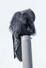 Raven on vent stack, preening.