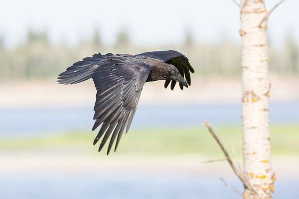 Juvenile raven about to fly by a tree. Wings down.