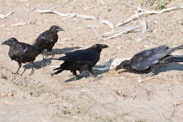 Four ravens, three juveniles and an adult (lower left) near a broken egg on clay surface. Junveile gets a taste.