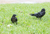 Juvenile raven feedin beside adult raven with raised head feathers.
