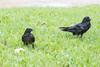 Juvenile raven feedin beside adult raven with raised head feathers.