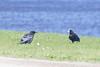 Two juvenile ravens, one with lard.