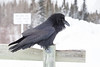 Raven on railing on Store Creek rail bridge in Moosonee. Beak partially open, head feathers spread.