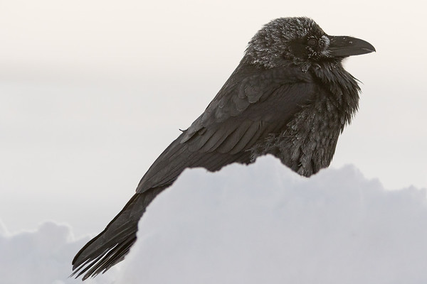 Raven with frost on snow on a cold morning.