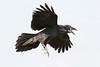 Juvenile raven in flight, feet down, beak open showing pink mouth, nictating membrane half covering eye.