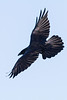 Raven in flight. Banking, both wings out.