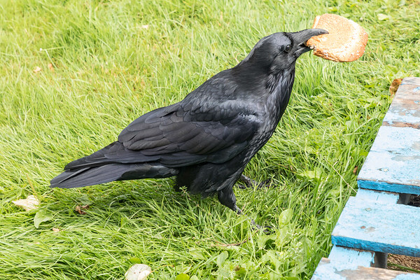 Raven with a peanut butter sandwich