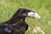 Close up crop of juvenile raven with piece of lard.