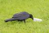 Juvenile raven with a piece of lard.