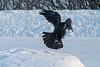 Raven landing on snow 2005 January 25