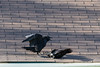 Two ravens dispute about a couple of eggs. Ultimately both eggs fall to the ground. Shot with too low a shutter speed.