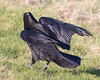 Raven walking, wings bent.
