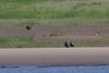 Ravens on the sandbar