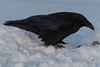 Dominant raven of pair gets first crack at the eggs.