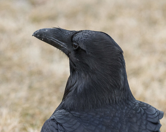 Raven, headshot from behind, head turned.