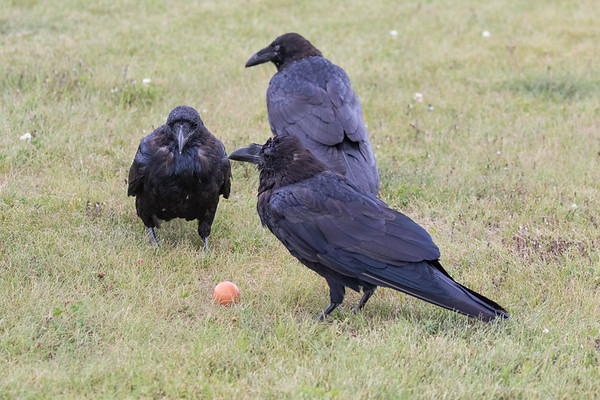 Adult raven (foreground) with two juveniles.