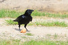 Juvenile raven eating an egg