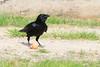 Juvenile raven eating an egg