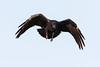 Raven in flight. From front, wings bent.