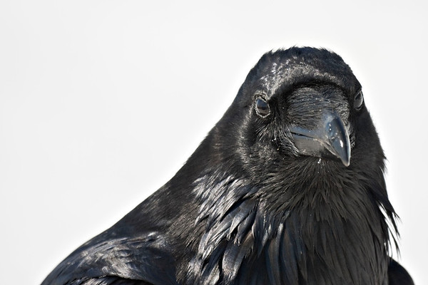 Raven, headshot, head turned slightly to camera right, both eyes visible. Snowy background.