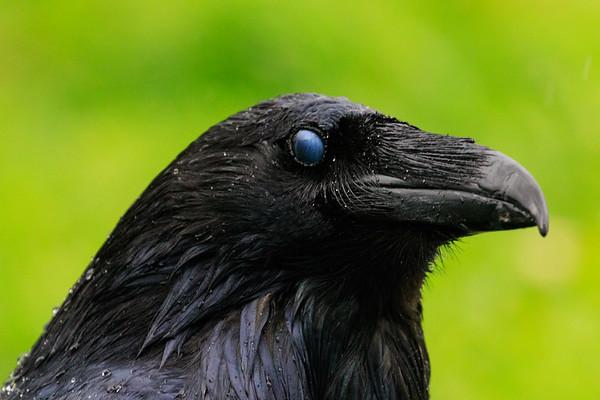 Raven headshot on a rainy day. Nictating membrame over eye.