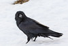 Raven on snow, head turned towards camera.