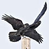Two ravens who both want to sit on the same utility pole, cropped to 1280 pixels square