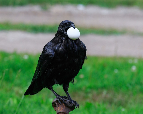 Raven with an egg sitting on water shut off. Note how bottom of egg picks up green reflection from grass.