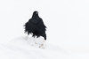 First picture of a raven with new 100-400mm lens.