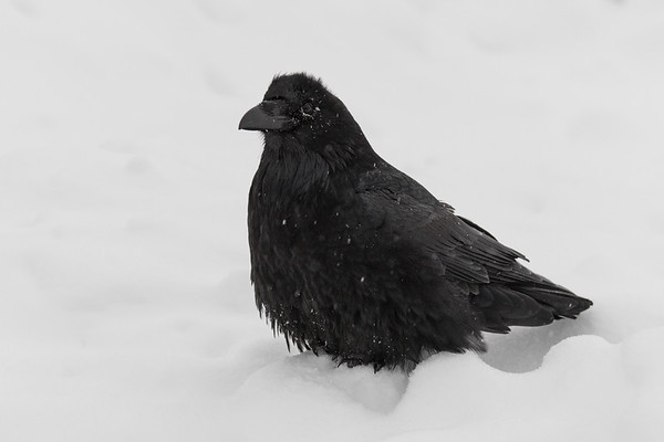 Raven on a snowy morning in Moosonee.