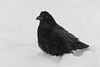 Raven on a snowy morning in Moosonee.