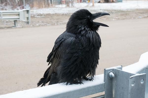 Raven on railing of Atim Road bridge over Store Creek.