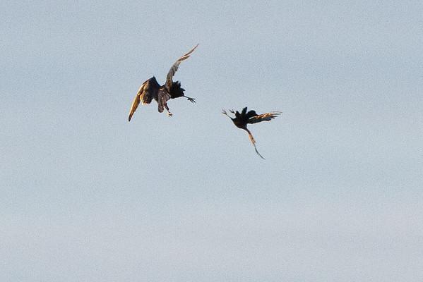 Crow harrassing raven