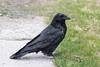 Raven in light snow.