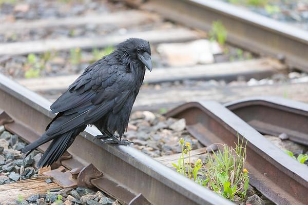 Adult raven sitting on railway tracks in Moosonee.