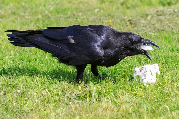 Raven eating lard.