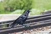 Raven on the tracks.