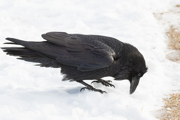 Raven looking in the snow.