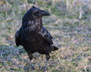 Raven walking on grass near baseball diamond.