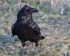 Raven walking on grass near baseball diamond.