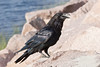 Raven on granite, beak partially open, side view