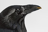 Headshot of raven with frost on feathers and egg yolk on beak. Tip of beak out of focus.