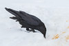 Raven looking for food in the snow.